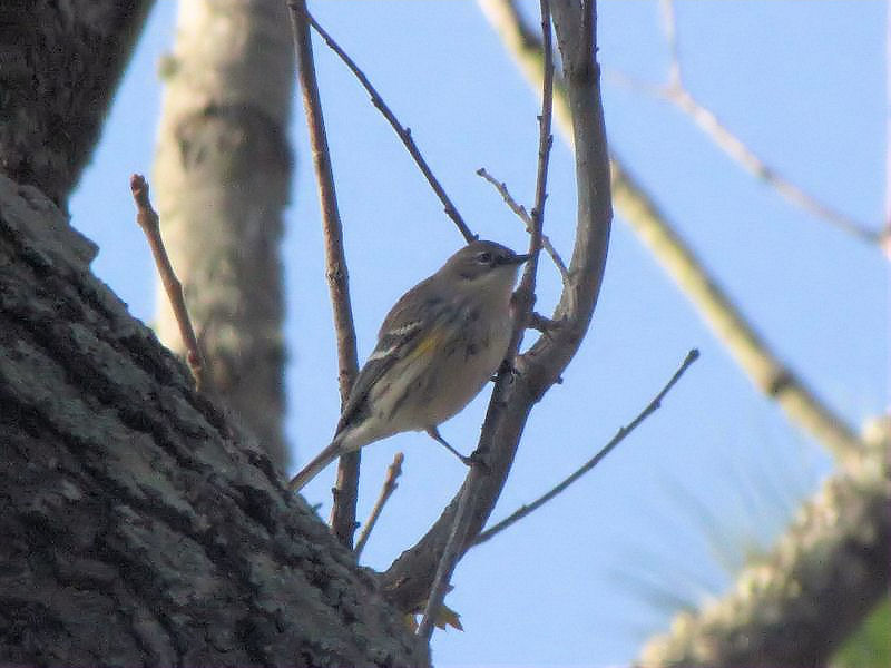 Yellow-rumped Warbler in our yard