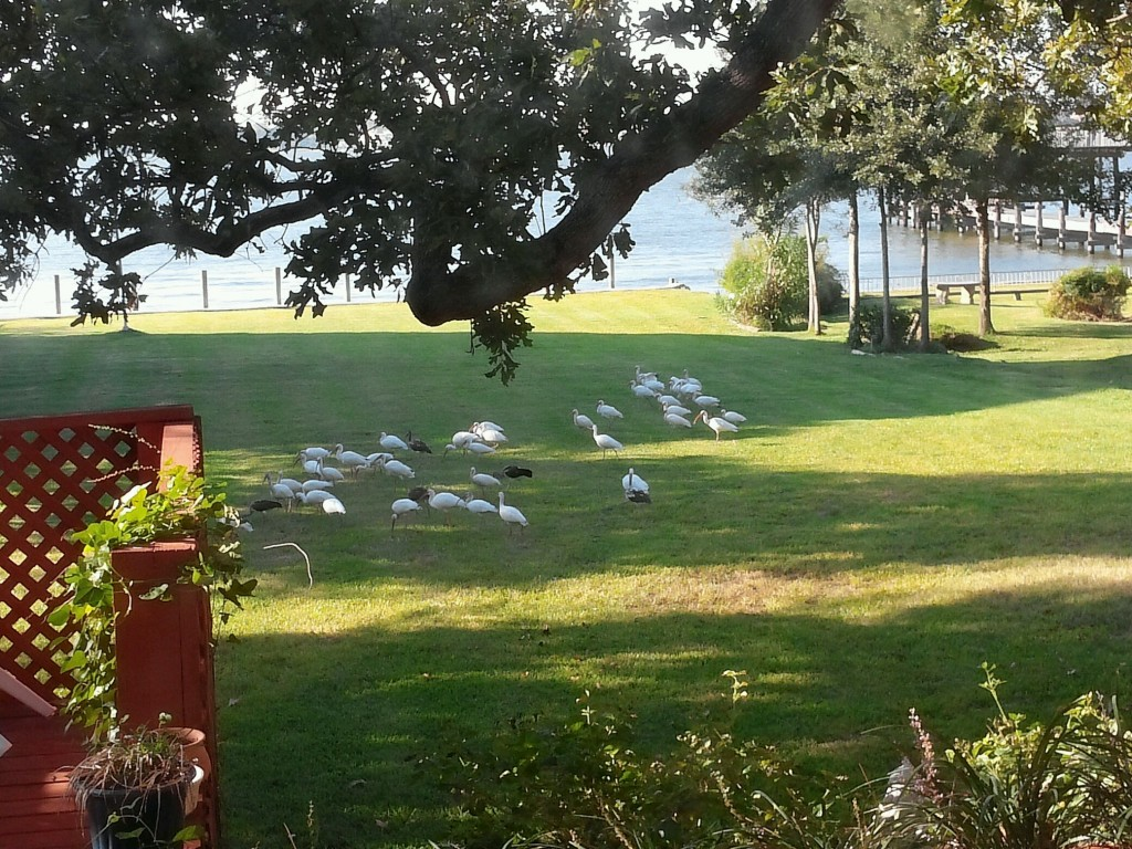 One of the times Ibises (with a few Grackles) came to visit our yard.