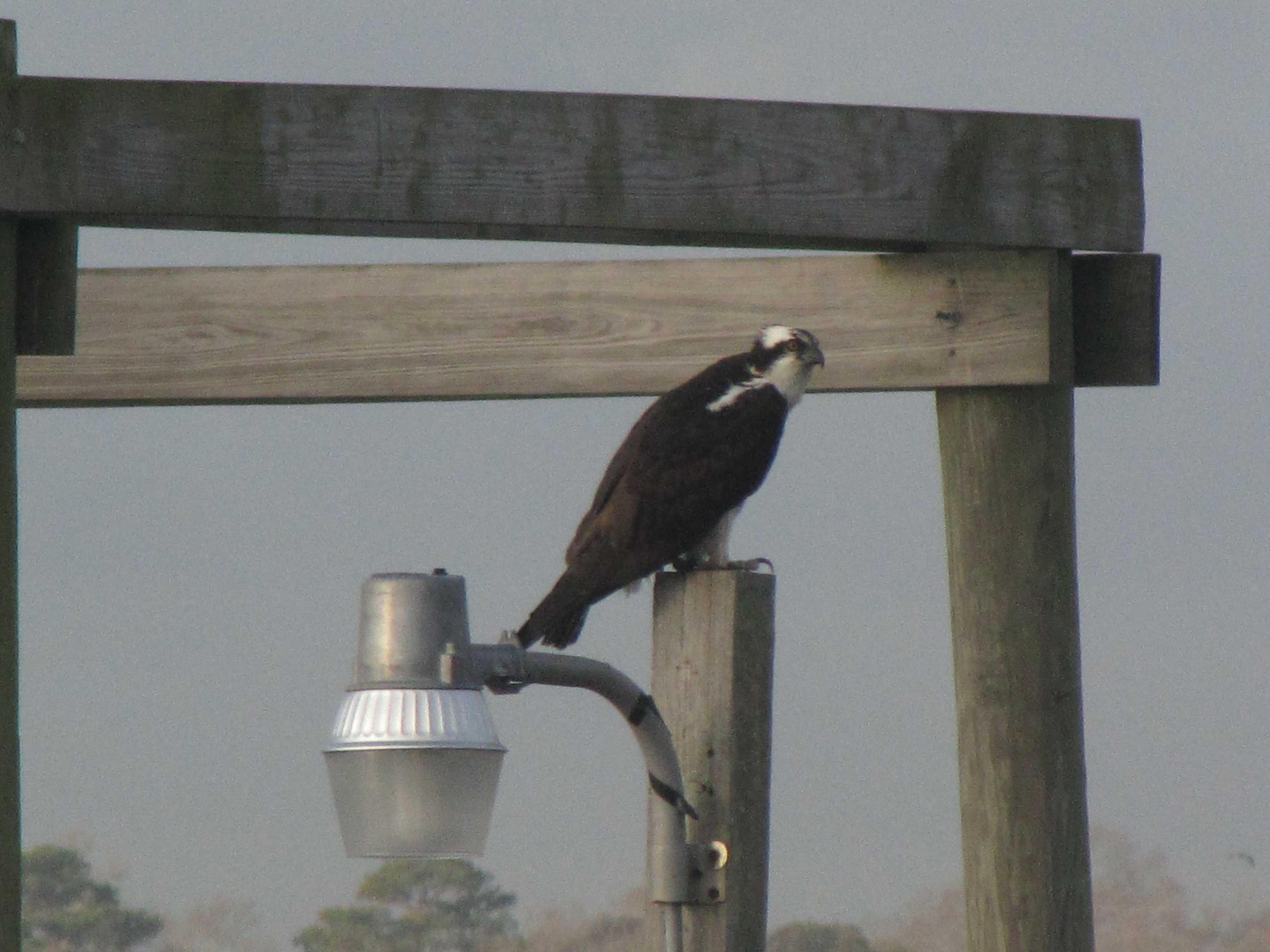 An osprey in our backyard