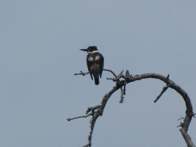 Kingfisher at Pine Gully Park