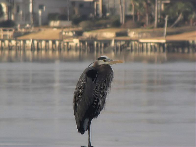 Great Blue Heron in our backyard